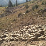 Wolves Kill 176 Sheep near Victor, Greatest Loss Recorded in Idaho