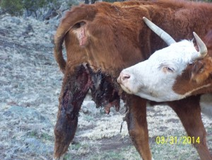 Typical of wolf attack on cattle; six days old - note maggots.