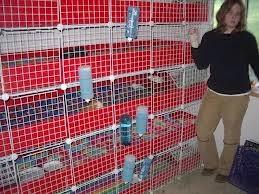 guinea pig3