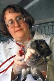 guinea pig4