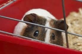guinea pig5