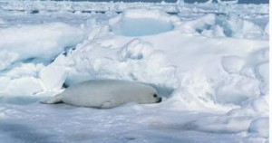 seal pup on artic ice