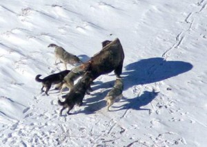 New research shows Yellowstone wolves pick their prey based on pack size