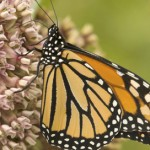 Leading Scientists, Over 200 Groups and Companies Call for Monarch Protection