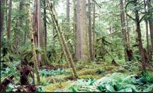 Mt. Rainier's Carbon River Rain Forest — and Mazama Pocket Gopher habitat, according to Verts-Carraway study. Photo from National Park Service