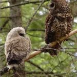 Federally protected Northern Spotted Owl. Photo from the U.S. Forest Service