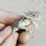 Local lizard may be named an endangered species