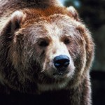 Wildlife agencies plan to restore grizzlies in Washington