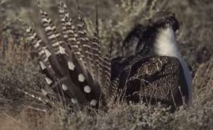Gunnison sage grouse